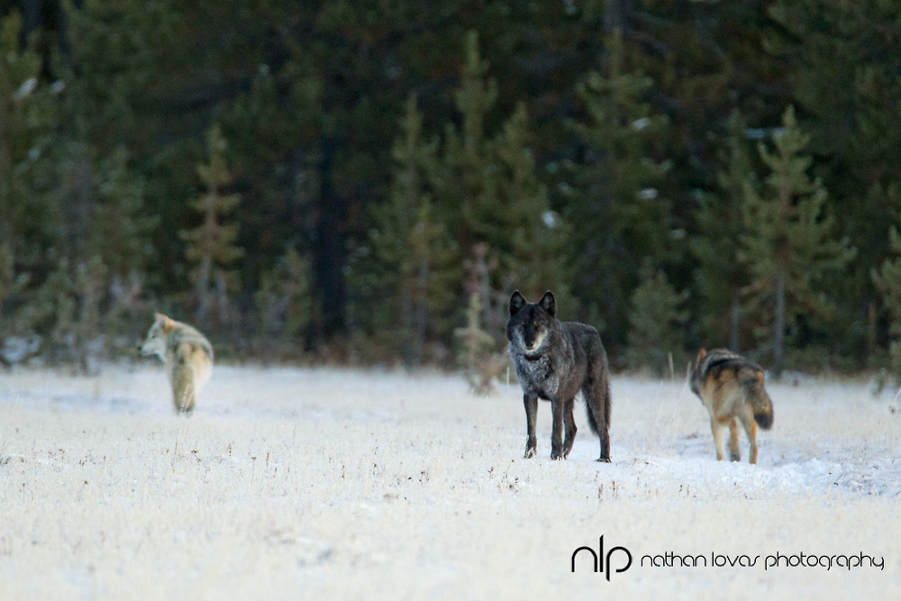 Gray wolf pack in snow; Yellowstone NP in wild.