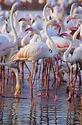 Greater flamingo (Phoenicopterus ruber). Fuente de Piedra Lagoon, Málaga province, Spain