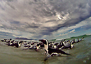 Eighty four  African penguins swim in the Atlantic Ocean after being released following their rehabilitation at the Southern African Foundation for the Conservation of Coast birds (SANCCOB) in Cape Town, South Africa 21 May 2009. 129 oiled African penguins were rescued from the islands along the southern Namibian coastline following an unidentified oil spill and transported to SANCCOB in the first ever cross border penguin rescue world wide. 84 of the penguins have completed the rehabilitation program before being released back into the ocean.  African  penguins are listed as vulnerable to extinction on the RED DATA list and there are only 27 000 breeding pairs of these charismatic birds left, down from 4 million at the turn of the century.