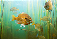 Group of Bluegill<br />