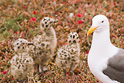 Western gull (Larus occidentalis) and chicks, Anacapa Island, Channel Islands National Park, California USA