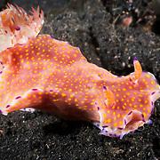 Beautiful orange, yellow and purple Ceratosoma tenue nudibranch crawling along the muck bottom of Lembeh Strait, North Sulawesi, Indonesia