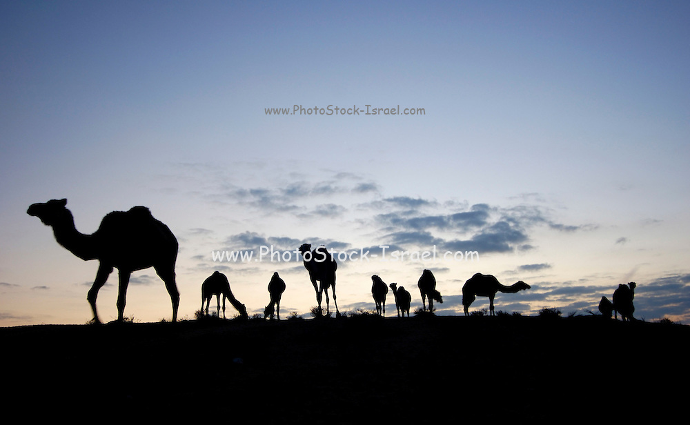Israel, Negev desert, A silhouette of a herd of camels at dusk