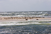 The seal banks (Robbenbänke) in the Wattenmeer. Seals having a rest.