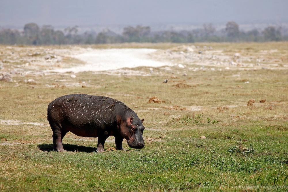 Africa, Kenya, Amboseli. Hippo of Amboseli.