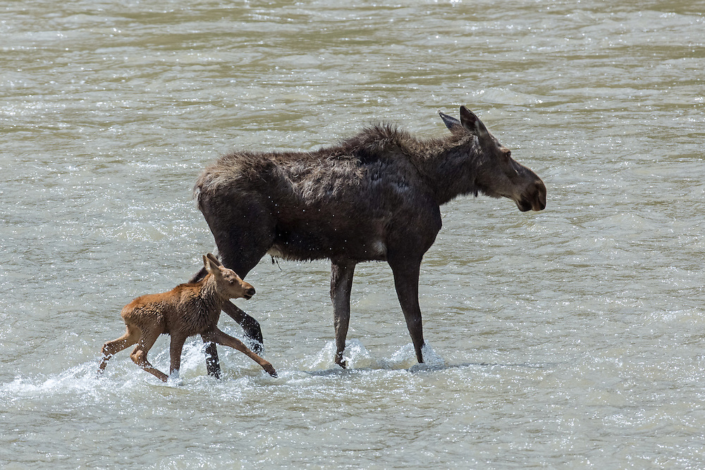 As the food supply on the island is depleted, the moose cow must venture to the mainland to forage.  Her calf attempts to follow her, but he is unable to navigate in the rising water of the Shoshone River.