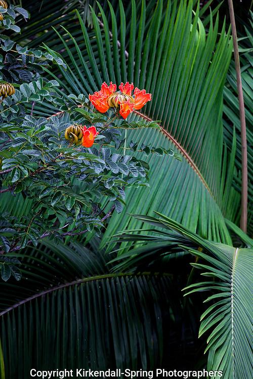 HI00240-00...HAWAI'I - African Tulip Tree in bloom in the North Kohala area on the island of Hawai'i.