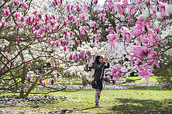 © Licensed to London News Pictures. 21/03/2017. London, UK. A visitors takes a phone photograph of colourful magnolia trees at the Royal Botanic Gardens Kew in afternoon sunshine.  Photo credit: Peter Macdiarmid/LNP