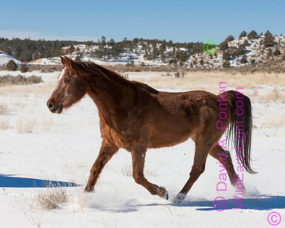 Arabian horse with winter coat running in fresh snow on field with bordering hills in the New Mexico country, © 2009 David A. Ponton [Prints to 8x10, 16x20, 24x30, or 40x50 in. with no cropping]