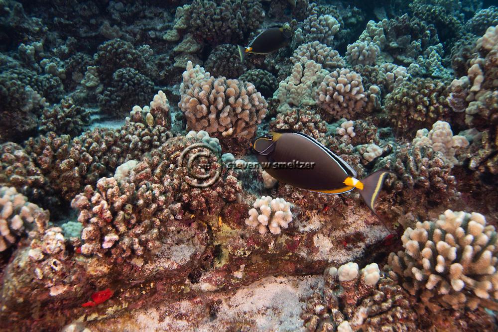 Orangespine Unicornfish, Naso lituratus, (Forster, 1801), Molokini Crater, Hawaii