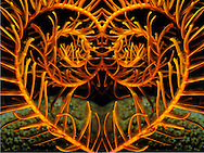 Orange Sea Lily