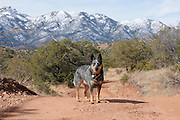 An Australian cattle dog along the Arizona Trail in Gardner Canyon in the Santa Rita Mountains of the Coronado National Forest in the Sonoran Desert north of Sonoita, Arizona, USA.