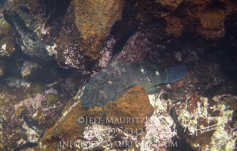 A Giant Hawkfish rests on the seafloor near Rabida island.
