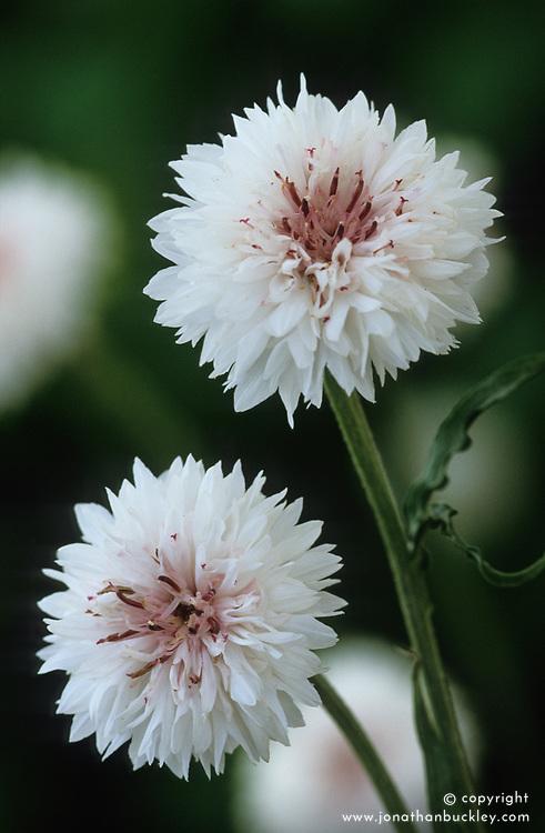 Centaurea cyanus alba - white cornflower