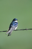 Tree Swallow (Tachycineta bicolor), Frank Lake, Alberta, Canada - Photo: Peter Llewellyn