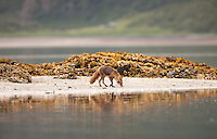 A red fox, Vulpes vulpes, walks along the shore in Geographic Harbor, Katmai National Park, Alaska.