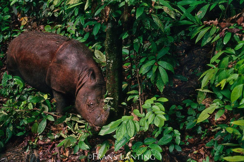Sumatran rhinoceros marking tree, Dicerorhinus sumatrensis, Sepilok Reserve, Sabah, Borneo