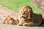 lion and lioness (Panthera leo) Photographed in Tanzania