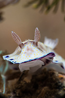 "A Goniobranchus aureopurpurea nudibranch lifts its ""skirts"" or mantle as it moves across the bottom. The animal's rhinophores are able to sense chemicals and currents within the water around it."