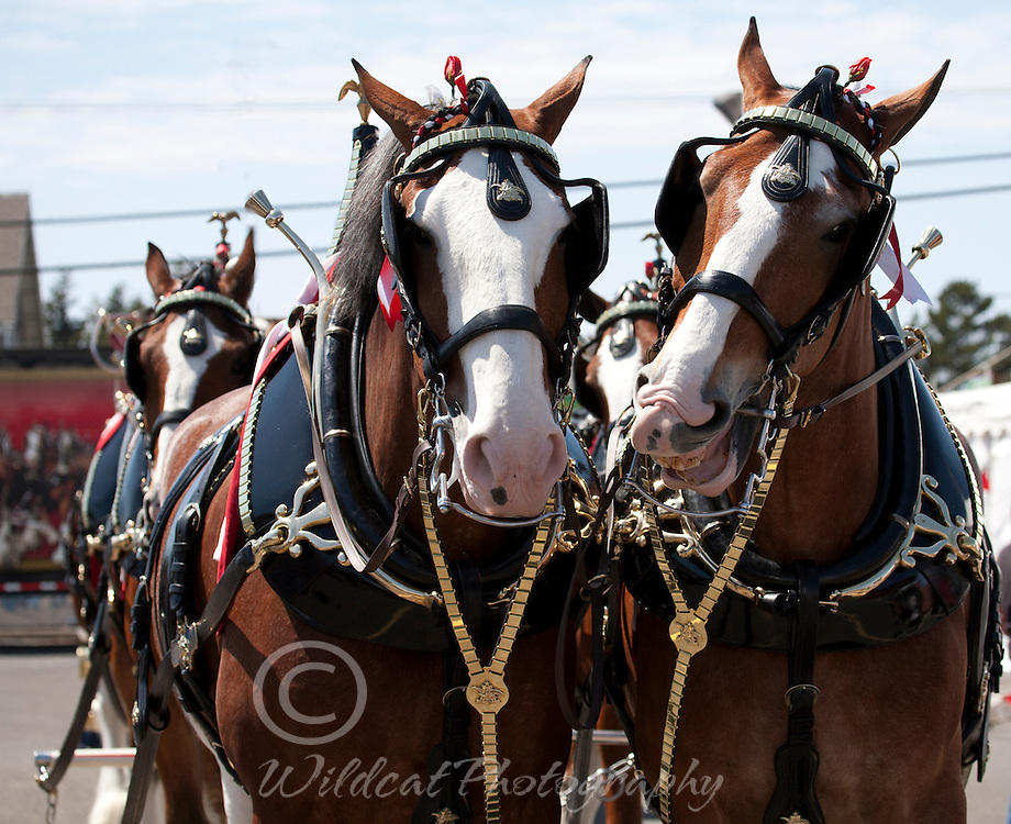 Budweiser Clydesdales in harness.