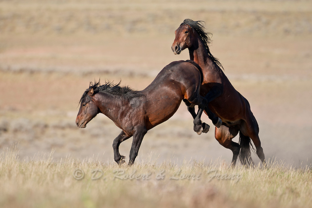 Fighting Wld Horses Yellowstone Nature Photography By D