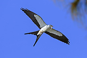 Swallow-tailed Kite with Prey