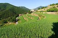 France, Languedoc Roussillon, Gard, Cévennes, oignons doux des Cévennes, vallée de Taleyrac, terrasses d'oignons en croissance