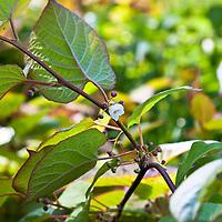 'Arctic Beauty' kiwi vine (Actinidia kolomikta 'Arctic Beauty')