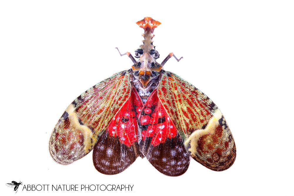 Planthopper (Phrictus quinquepartitus)<br /> BELIZE: Cayo District <br /> Ian Anderson's Caves Branch Lodge near Armenia<br /> 7-Sep-2014<br /> J.C. Abbott &amp; K.K. Abbott