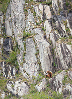 An Alaska brown bear, Ursus arctos horribilis, sits on a cliffside in Geographic Harbor, Katmai National Park, Alaska.