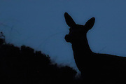 Deer captured late at night. Black silhouette on blue sky | Hjort fotografert sent om kvelden. Sort silhuett mot blå himmel.