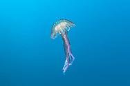 Mauve stinger-Méduse (Pelagia noctiluca) of mediterranean sea.