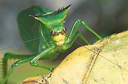 Katydid; Stilpnochlora acanthonotum; Ecuador, El Oro, Buenaventura Reserve; in Rain Forest