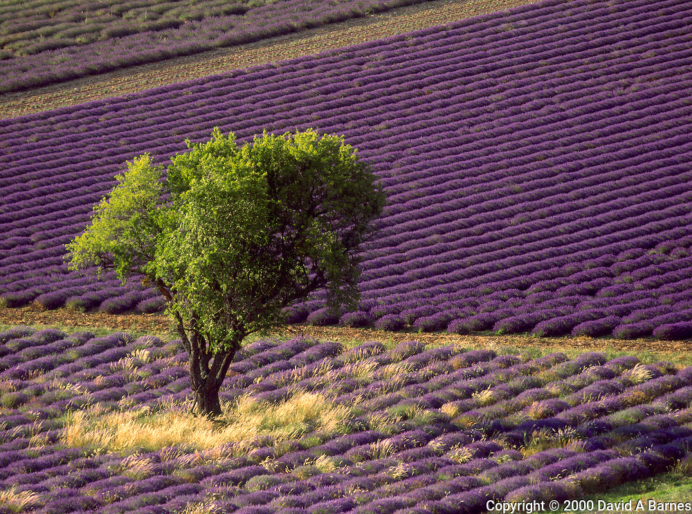Lavender field in High Provence, France