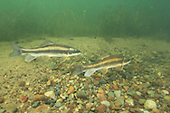 White Sucker (spawning)<br />