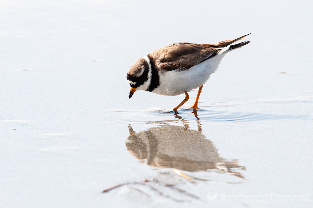 The Common Ringed Plover is a small plover. At Revtangen on Jaeren, south west Norway.
