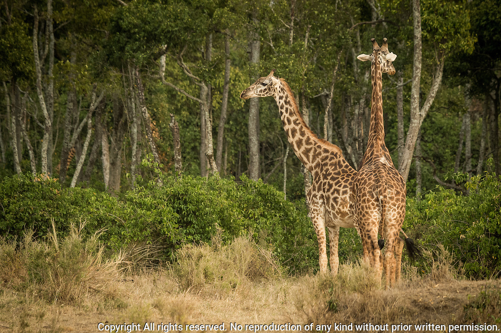 Masai Giraffe (Giraffa tippelskirchi) Black Rhinoceros (Diceros bicornis)<br />      Black rhinos are critically endangered with fewer than 2500 remaining thoughout Africa.  As recently as 1970 an estimated 65,000 black rhinos could be found throughout sub-Saharan Africa.