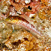 Saddle Blenny inhabit reefs, perch on bottom in Tropical West Atlantic; picture taken Little Cayman.