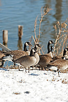 Canadian geese stand in snow next to a pond.