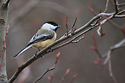 IDAHO. Boise. Morrison Knudsen Nature Center. Black-capped Chickadee (Parus atricapillus) perching on bare tree branches in winter. January, 2006. #bb0003