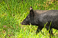 "This is one of the strangest things ever .... six wild boars roamed into our suburban Fort Myers, Florida yard and had a blast rolling in the dried up, muddy canal in the back yard. I was out there with my cameras and a couple of lenses, and it was the first time I was able to get close to them. In fact - some got so close that I couldn't get a clear shot because I was using a zoom lens! Then I did something dumb. I put out my hand to see if one would come close enough for me to be able to say I actually touched a wild boar. Four of them let me scratch them and leaned into me like a pet dog would! They loved it! It was incredible!!!! I have since then been called the ""Pig Whisperer"" as a result."