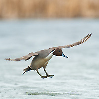 northern pintail drake single drake landing on water