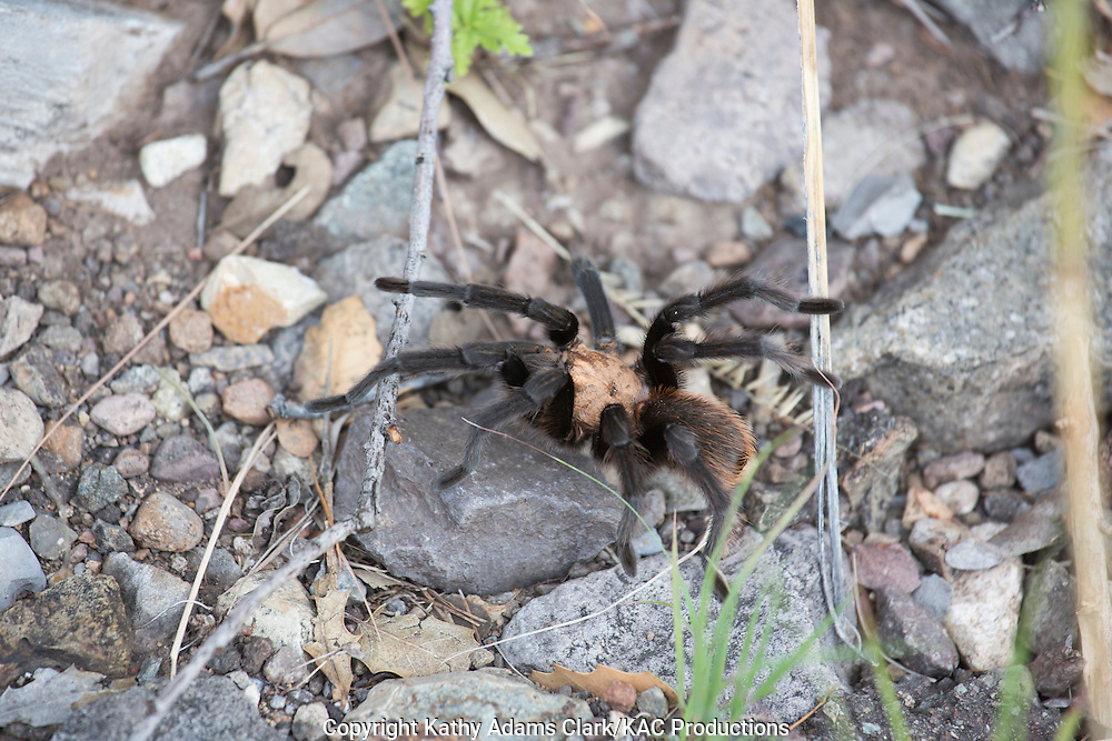 Tarantula at Big Bend National Park, Texas in late summer. Photographed on Chisos Basin trail.