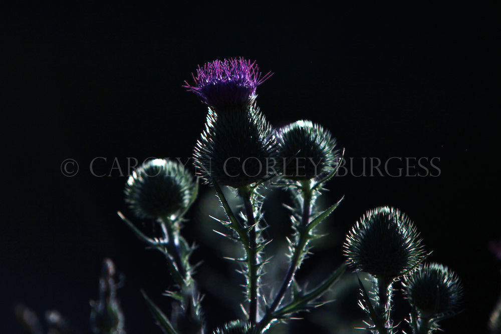 scottish thistle in a Howell Mountain vineyard. Napa Valley