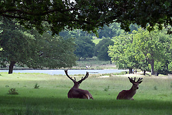 © Licensed to London News Pictures. 03/06/2015. Richmond, UK Deer gather beneath trees in the shade in Richmond Park today 3rd June 2015. Temperatures are set to get highr as the week progresses. Photo credit : Stephen Simpson/LNP