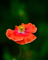 Red Poppy. Image taken with a Fuji X-H1 camera and 200 mm f/2 OIS lens + 1.4x teleconverter