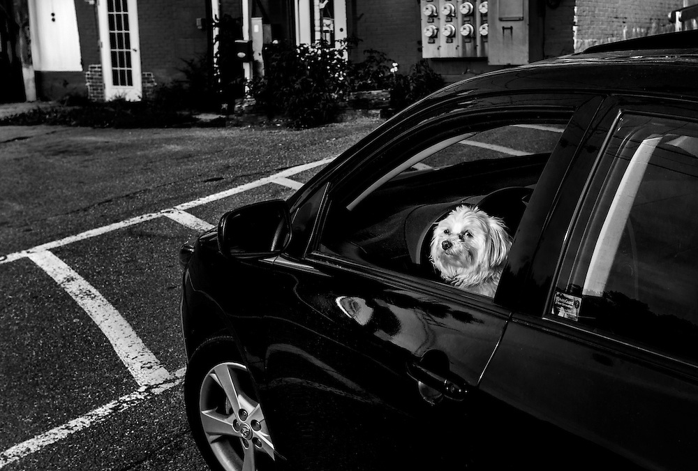 White dog in a black car in Bath, Maine.