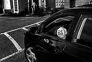 White dog in a black car in Bath, Maine.