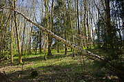 Fallen Silver Birch tree, Betula pendula, in springtime in woodland in Swinbrook in the Cotswolds, Oxfordshire, UK