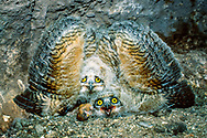 Young great horned owls (Bubo virginianus) in nest cave spread and tip their wings to appear large and fierce to researcher, an inate defensive behavior.  Uneaten prey is visible, a gopher. © 1987 David A. Ponton